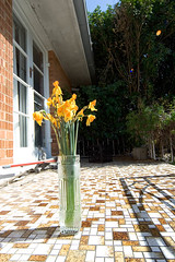 Daffodils (dead) on the patio