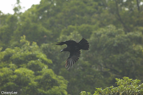 16396 巨嘴鴉 Jungle Crow