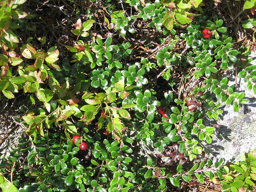 Mountain cranberries