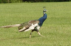 peacocks gone wild
