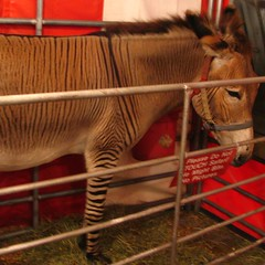 See the Zebroid for free.