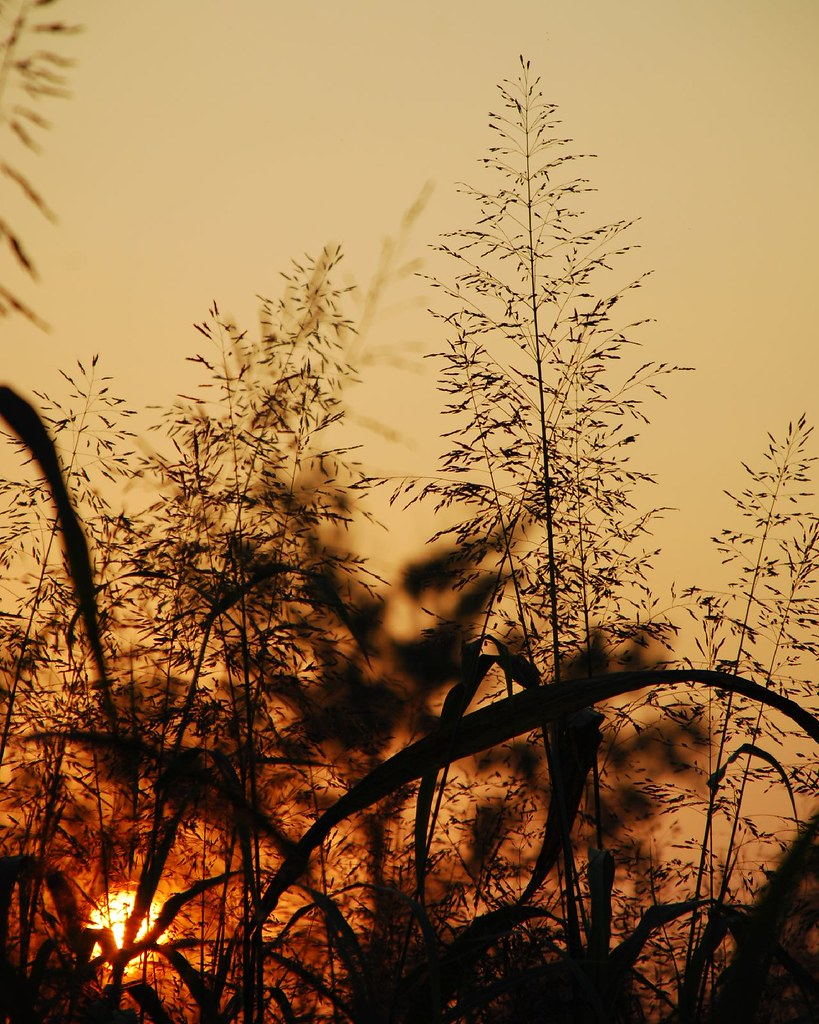 grass-sunset_0184