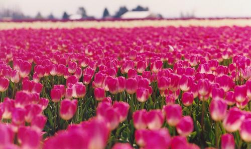 pink tulips DOF