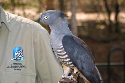 Crested Hawk or (Pacific Baza) (Aviceda subcristata)