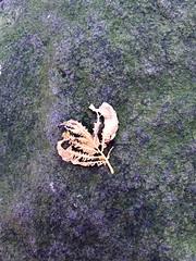skeletonized leaf