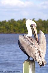 20061213_EvergladesPelican01