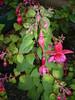 fuchsia.magellanica