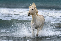 Camargue horse in the Sea photo by debbie_dicarlo