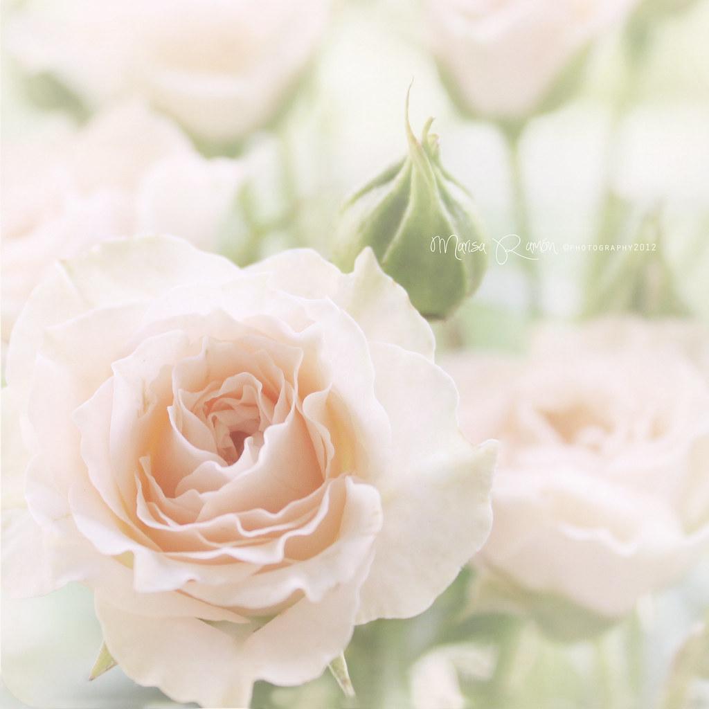 Rosa, rosae... photo by MARISA1005