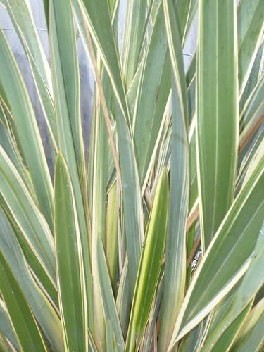 phormium.tenax variegatum