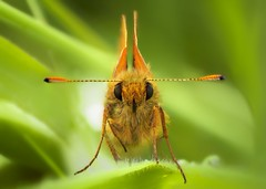 Large Skipper (Ochlodes sylvanus) photo by MentalBloc16