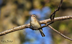 Happy Bird - Warbling Vireo