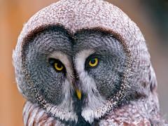 Portrait of an owl photo by Tambako the Jaguar