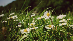 Daisies - Lumix Panasonic GF3 photo by _chrisUK