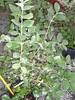 feijoa (goyavier du bresil)
