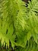 fougere. matteucia struthiopteris (plume d'autruche)