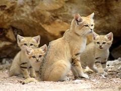 Maman chat des sables et ses 3 bébés (1 mois et demi) photo by home77_Pascale