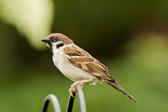 Tree Sparrow in the Rain 8th-July-12 photo by linlaw39