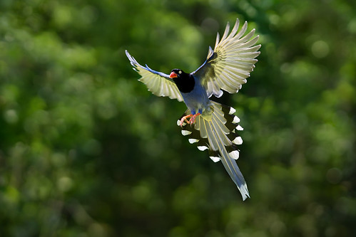 .~☆ 台灣藍鵲 ☆~.Taiwan Blue Magpie photo by Fu-yi
