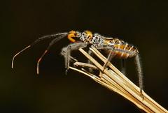 Assassin Bug Nymph (Reduviidae) photo by John Horstman (itchydogimages, SINOBUG)