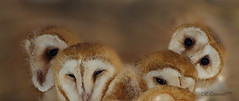 Barn Owls In Nest photo by CR Courson