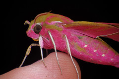 Elephant Hawkmoth photo by Johan J.Ingles-Le Nobel