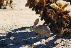 Jackrabbit in Joshua Tree photo by jensvins