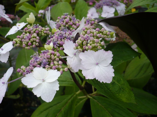 hortensia fleur plate