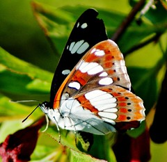 White Admiral.  'limentis camilla' photo by Paul (Barniegoog)