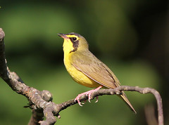 Kentucky Warbler photo by Chris M. Williams