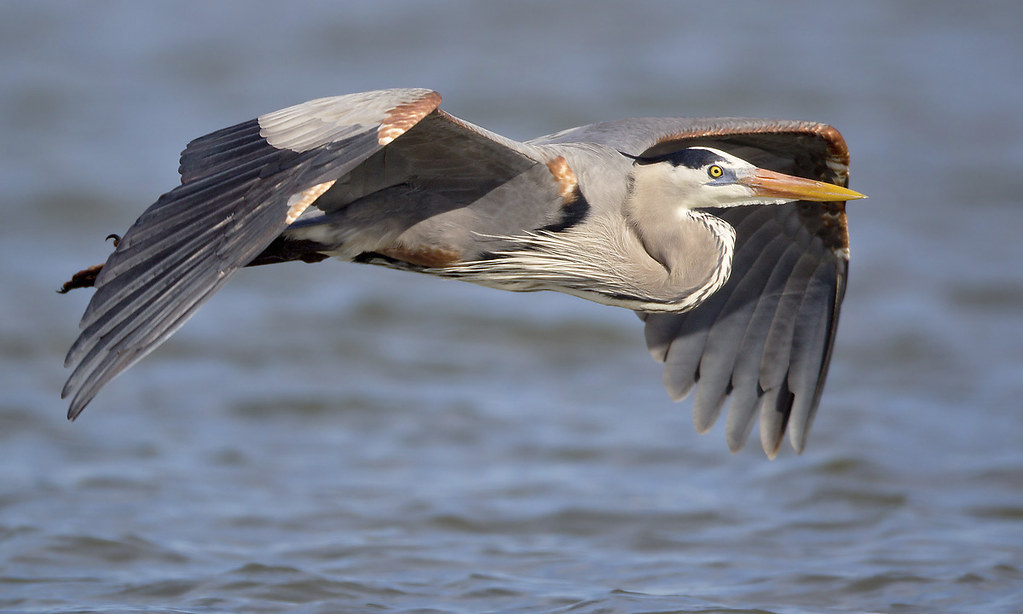 Great Blue Heron Fly-by photo by Jeff Dyck