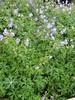 geranium vivace.johnson blue
