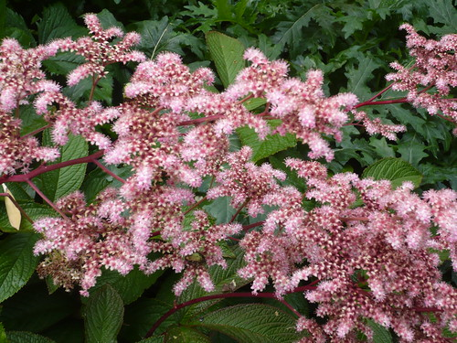 rodgersia pinata superba