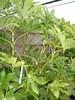 aralia (fatsia japonica)