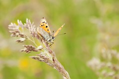 Small Copper (Lycaena phlaeas) photo by MentalBloc16