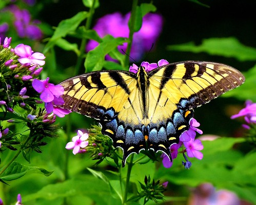 Tiger Swallowtail photo by jamesfburns