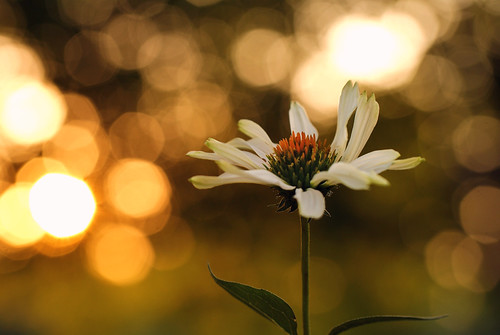 Coneflower photo by j man.