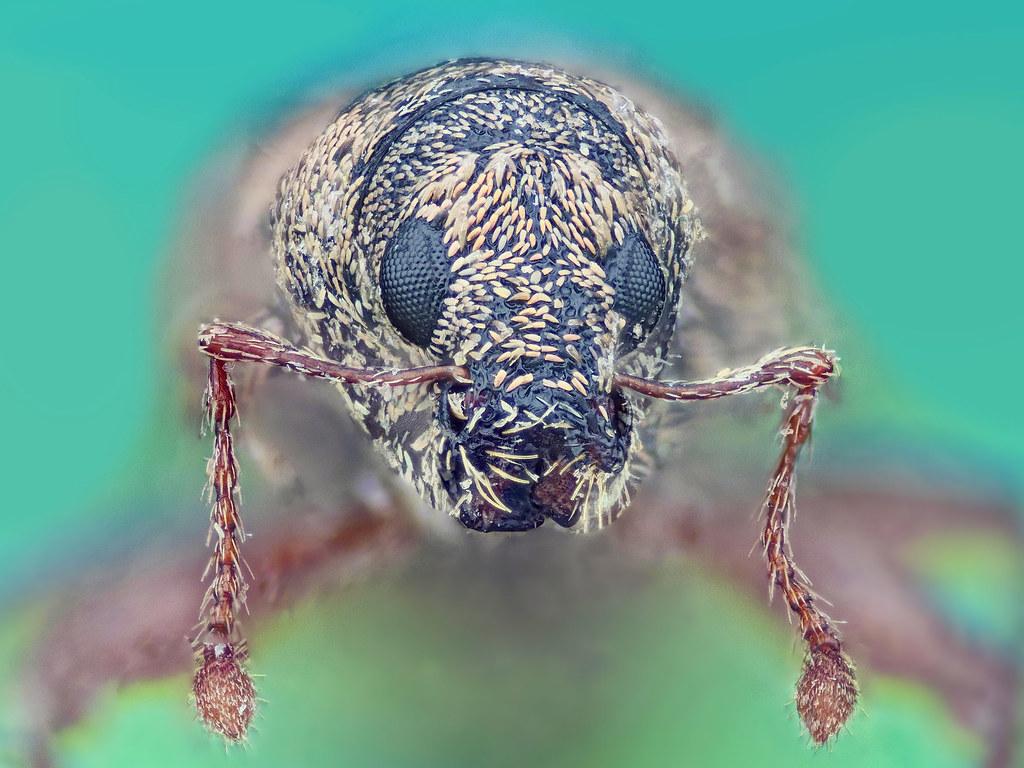 Evil Weevil photo by Johan J.Ingles-Le Nobel