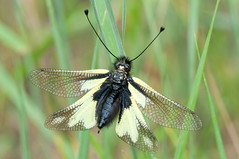 Owlfly- Libelloides caccajus photo by linanjohn