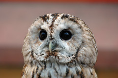Whisper the Tawny Owl photo by S Cansfield