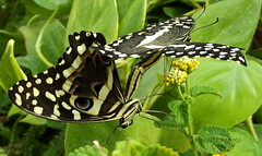 Mating: Common Lime Butterfly  (Papilio demoleus) photo by roby pegolo