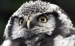 Northern Hawk Owl Portrait photo by Stephen Bridson
