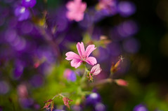 Geranium & Lobelia photo by Mal Urwin