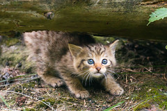 Li'l wild cat photo by Cloudtail