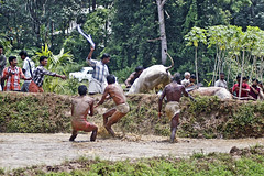 Bull Racing in Kerala - Photo 7 - Got the Bulls under Control photo by Anoop Negi