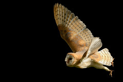 Barn Owl in Flight photo by Ami 211