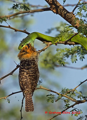 Philodryas viridissima, Green Tree Snake,  and Chaco or Spot-backed Puffbird  ( Nystalus maculatus striatipectus) photo by Graham Ekins