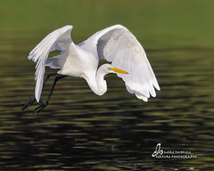 Great Egret photo by mtetcher