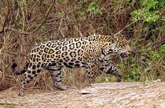 Jaguar - Panthera onca - Pantanal, Brazil photo by Susan Roehl