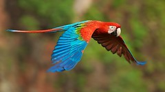 Red-and-green Macaw (Ara chloroptera) in flight photo by PeterQQ2009